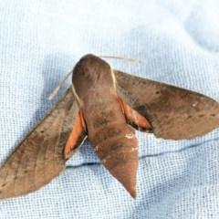 Hippotion scrofa (Coprosma Hawk Moth) at Higgins, ACT - 21 Nov 2020 by AlisonMilton