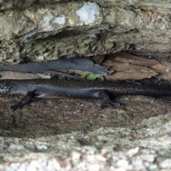 Egernia saxatilis (Black Rock-skink) at Namadgi National Park - 21 Nov 2020 by nmcphan