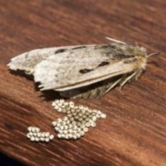 Anthela ocellata (Eyespot anthelid moth) at Higgins, ACT - 20 Nov 2020 by AlisonMilton