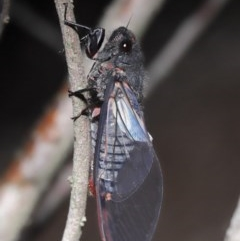 Yoyetta denisoni (Black Firetail Cicada) at ANBG - 21 Nov 2020 by TimL