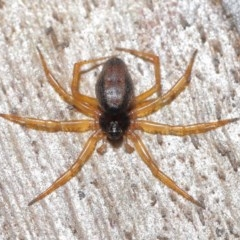 Euryopis umbilicata (Striped tick spider) at ANBG - 17 Nov 2020 by TimL