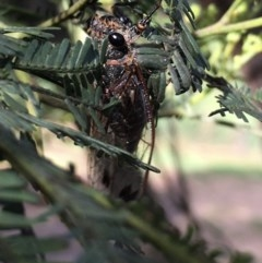 Galanga labeculata (Double-spotted cicada) at Lower Boro, NSW - 21 Nov 2020 by mcleana