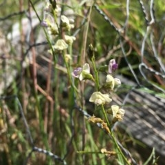 Glycine sp. at Lower Boro, NSW - 21 Nov 2020 by mcleana