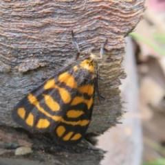 Asura lydia (Lydia Lichen Moth) at Bellmount Forest, NSW - 21 Nov 2020 by Christine
