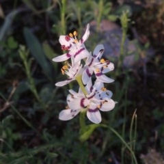 Wurmbea dioica subsp. dioica (Early Nancy) at Tuggeranong Hill - 19 Oct 2020 by michaelb