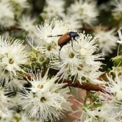 Phyllotocus sp. (genus) (Nectar scarab) at Aranda, ACT - 22 Nov 2020 by KMcCue