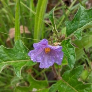 Solanum cinereum at Deakin, ACT - 22 Nov 2020