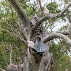 Cacatua galerita (Sulphur-crested Cockatoo) at Hughes Grassy Woodland - 21 Nov 2020 by JackyF
