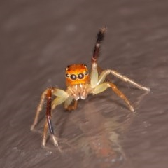 Prostheclina amplior (Orange Jumping Spider) at ANBG - 20 Nov 2020 by rawshorty