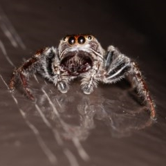 Opisthoncus sp. (genus) (Unidentified Opisthoncus jumping spider) at ANBG - 20 Nov 2020 by rawshorty