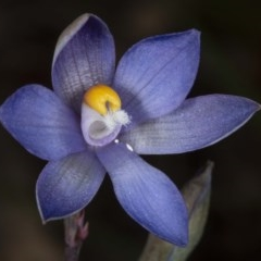 Thelymitra sp. (nuda complex) (A sun orchid) at Kaleen, ACT - 9 Nov 2020 by DerekC