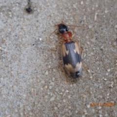 Anomotarus crudelis (Carab beetle) at Pialligo, ACT - 22 Nov 2020 by Ghostbat