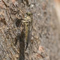 Cerdistus sp. (genus) (Robber fly) at Hawker, ACT - 20 Nov 2020 by AlisonMilton