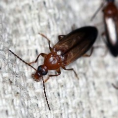 Unidentified Darkling beetle (Tenebrionidae) (TBC) at O'Connor, ACT - 17 Nov 2020 by ibaird