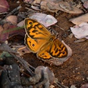 Heteronympha merope at Hughes Grassy Woodland - 23 Nov 2020