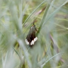 Nyctemera amicus (Senecio or Magpie moth) at Hughes Grassy Woodland - 21 Nov 2020 by TomT