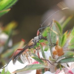 Enchoptera apicalis (TBC) at Tinderry Mountains - 20 Nov 2020 by Harrisi