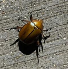 Anoplognathus hirsutus (Hirsute Christmas beetle) at Majura, ACT - 23 Nov 2020 by Ghostbat