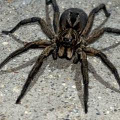 Venatrix sp. (genus) (Unidentified Venatrix wolf spider) at Pialligo, ACT - 23 Nov 2020 by Ghostbat