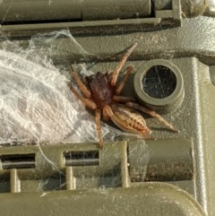 Clubiona sp. (genus) (Unidentified Stout Sac Spider) at Albury - 20 Nov 2020 by ChrisAllen