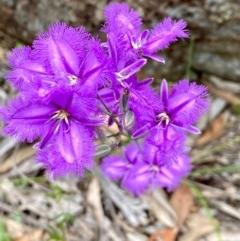 Thysanotus tuberosus subsp. tuberosus (Common Fringe-lily) at Rob Roy Range - 20 Nov 2020 by Shazw