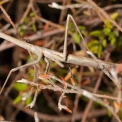 Archimantis latistyla (Stick Mantis, Large Brown Mantis) at Acton, ACT - 23 Nov 2020 by Roger