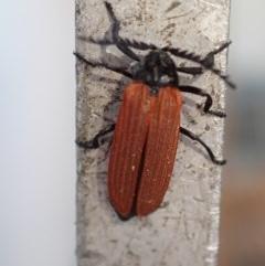 Porrostoma sp. (genus) (Lycid beetle, Net-winged beetle) at Majura, ACT - 23 Nov 2020 by Ghostbat