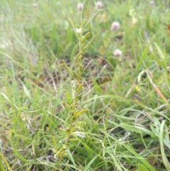 Thesium australe (Austral toadflax) at Hereford Hall, NSW - 21 Nov 2020 by Greggy