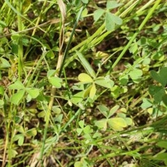 Oxalis perennans (Grassland Wood Sorrel) at Hughes Grassy Woodland - 23 Nov 2020 by TomT