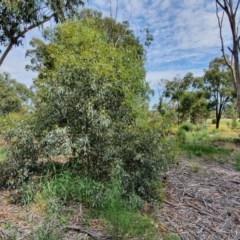 Eucalyptus melliodora (Yellow Box) at Hughes Grassy Woodland - 23 Nov 2020 by TomT