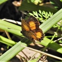 Paralucia aurifer (Bright Copper) at Tidbinbilla Nature Reserve - 23 Nov 2020 by JohnBundock