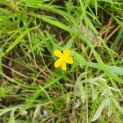 Hypericum gramineum (Small St Johns Wort) at Hughes Grassy Woodland - 23 Nov 2020 by TomT
