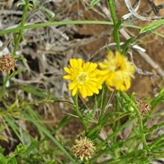 Calotis lappulacea (Yellow burr daisy) at Hughes Grassy Woodland - 23 Nov 2020 by TomT