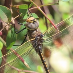 Anax papuensis (Australian Emperor) at Griffith, ACT - 17 Nov 2020 by roymcd