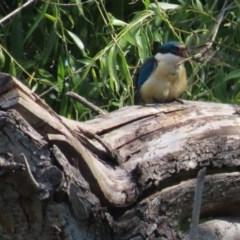 Anax papuensis (Australian Emperor) at Jerrabomberra Wetlands - 7 Nov 2020 by roymcd