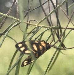 Asura lydia (Lydia Lichen Moth) at Flea Bog Flat, Bruce - 23 Nov 2020 by MattFox