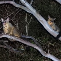 Trichosurus vulpecula (Common Brushtail Possum) at Macarthur, ACT - 24 Nov 2020 by RodDeb