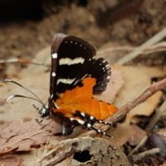 Hecatesia fenestrata (Common Whistling Moth) at Bruce, ACT - 23 Nov 2020 by melanoxylon