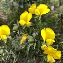 Gompholobium huegelii (Pale Wedge Pea) at Wandiyali-Environa Conservation Area - 24 Nov 2020 by Wandiyali