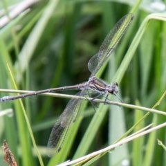 Austroargiolestes icteromelas (Common Flatwing) at Mount Clear, ACT - 23 Nov 2020 by SWishart