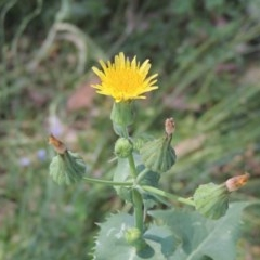 Sonchus oleraceus (Common Sowthistle) at Conder, ACT - 17 Nov 2020 by michaelb