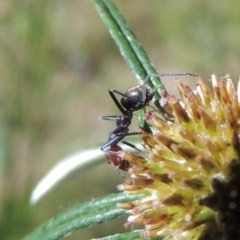 Iridomyrmex purpureus (Meat Ant) at Tuggeranong Hill - 2 Nov 2020 by michaelb