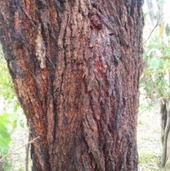 Eucalyptus sideroxylon (Mugga Ironbark) at Aranda, ACT - 24 Nov 2020 by petaurus