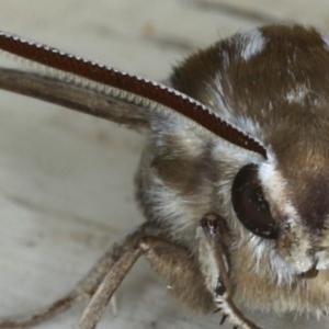 Hyles livornicoides at Ainslie, ACT - 18 Nov 2020