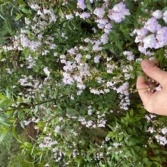 Prostanthera lasianthos (Victorian Christmas Bush) at Lower Cotter Catchment - 24 Nov 2020 by ThomasMungoven