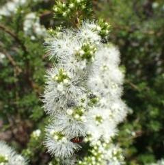 Kunzea ambigua (White Kunzea) at Black Mountain - 24 Nov 2020 by RWPurdie