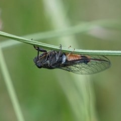Yoyetta sp. (genus) (Firetail or Ambertail Cicada) at Lake George, NSW - 24 Nov 2020 by MPennay