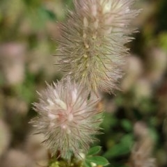 Trifolium arvense var. arvense (Haresfoot Clover) at Bass Gardens Park, Griffith - 24 Nov 2020 by SRoss
