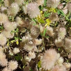 Trifolium arvense var. arvense at Bass Gardens Park, Griffith - 25 Nov 2020