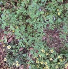 Erodium crinitum (Native Crowfoot) at Hughes, ACT - 24 Nov 2020 by jennyt